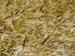 Семена озимой пшеницы Житница Одесская, элита