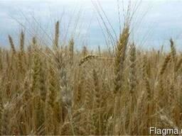 Семена озимой пшеницы Журавка Одесская, R2