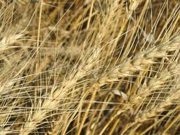 Семена озимой ржи 38