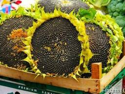Семена под гранстар НС-2017, Бонд, Дракон, Аурис, Матадор,