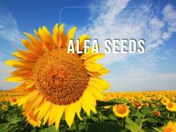 Семена подсолнечника Альфа Насіння