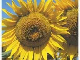 Семена подсолнечника Анастасия - photo 1