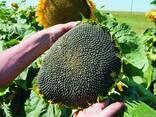 Семена подсолнечника Бонд под гранстар - фото 2
