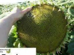 Семена подсолнечника Босфора (Bosfora)