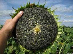 Семена подсолнечника Дарил
