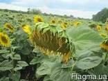 Семена подсолнечника Лиман ОР устойчив заразихе 7 рас А-G - photo 1
