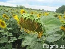 Семена подсолнечника Донбасс ОР устойчив заразихе 7 рас А-G