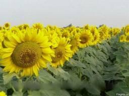 Семена подсолнечника Фушия КЛ под евролайтнинг