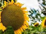 Семена подсолнечника гибрид Ясон (F1)