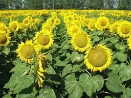 Семена подсолнечника, гибриды кукурузы, удобрения, СЗР