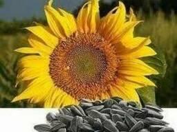 Семена подсолнечника Искандер, Ларисса, Матрица