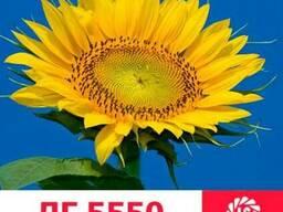 Семена подсолнечника ЛГ 5550