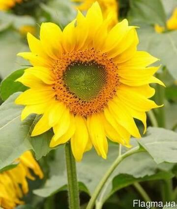 Семена подсолнечника ЛГ 5665 М Лимагрейн