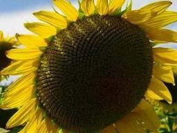 Семена подсолнечника Лимит Аракар (под евролайтнинг)