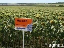 Семена подсолнечника МАС 83 Р (Мaisadour)