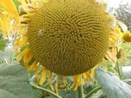 Семена подсолнечника МАС 87 ИР Maisadour