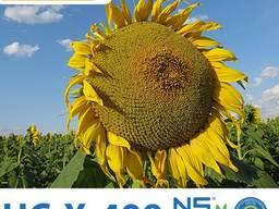 Семена подсолнечника Нертус НС Х 498 под Гранстар