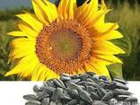 Семена подсолнечника Нови Сад Сербия, насіння соняшника