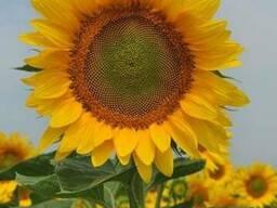 Семена подсолнечника НС Имисан (толерантен к евролайтнингу)