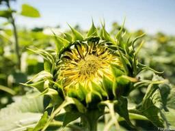 Семена подсолнечника НС Кнез - A-G