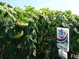 Семена подсолнечника НС Сумо