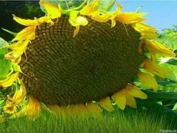 Семена подсолнечника НС Сумо 556 под гранстар