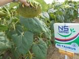 Семена подсолнуха НС Таурус Экстра (3,0-3,6мм) - фото 3