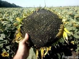 Семена подсолнечника под гранстар
