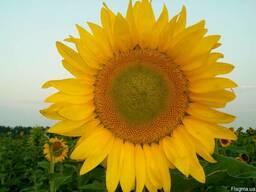 Семена подсолнечника под евролайтинг, аракар, лимит
