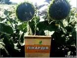 Семена подсолнечника под гербицид Експресс, Евро-Лайтинг. - photo 1