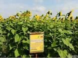 Семена подсолнечника под гербицид Експресс, Евро-Лайтинг. - photo 3