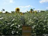 Семена подсолнечника под гербицид Експресс, Евро-Лайтинг. - photo 4