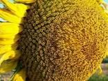 Семена подсолнечника Прометей (1- репродукція) 2019 - фото 1