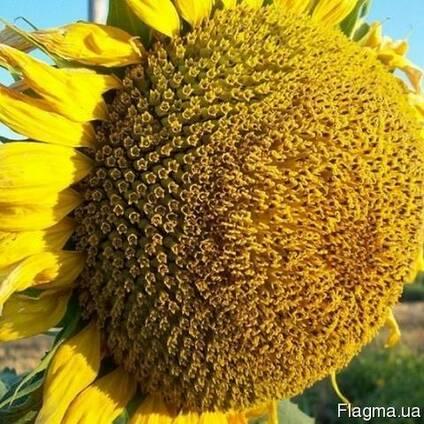 Семена подсолнечника Прометей (1- репродукція)