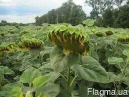 Семена подсолнечника Рекольд(под гранстар)