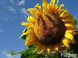 Семена подсолнечника Рембо (до гранстару) 900грн
