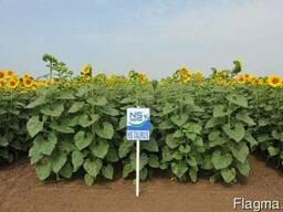 Семена подсолнечника Рими, НС Имисан, НС Таурус (Clearfield)