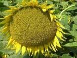 Семена подсолнечника сорт Лакомка (кондитерка) 1 репродукция