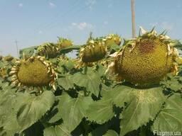 Семена подсолнечника сорт Родник 2018