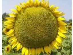 Семена подсолнечника сорт Сур 1 репродукция