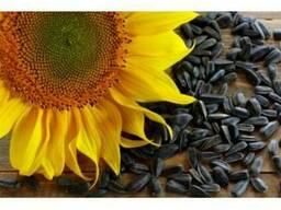 Семена подсолнечника Сур ультраранний,45 грн/кг
