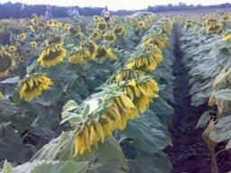 Семена подсолнечника Украинский F1 (эконом, стандарт, экстра