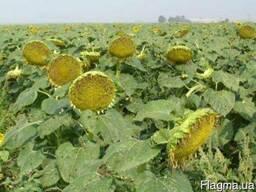 Семена подсолнечника Украинское солнышко 700грн