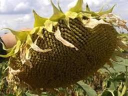 Семена подсолнечника, ультра ранние гибриды