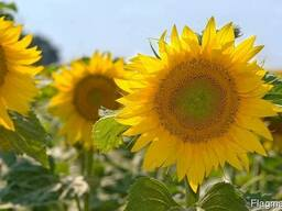 Семена подсолнечника устойчивого к 7 расам заразихи, гибрид
