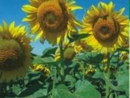 Семена подсолнечника Заграва (ВНИС)