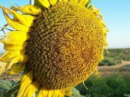 Семена подсолнечника Жалон, Аламо, Атланта, Ягуар, Айтана
