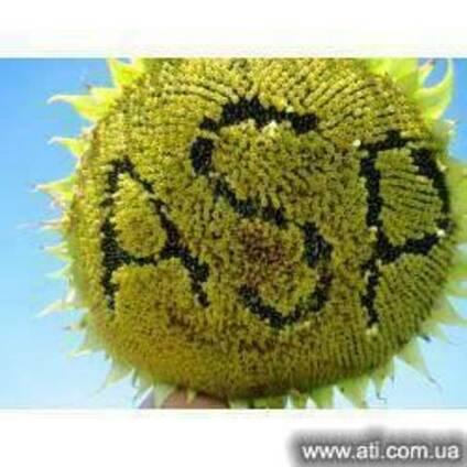 Семена подсолнечника ЖАЛОН F1 1320грн/п.е.
