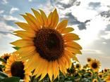 Семена подсолнечника Златибор - фото 1