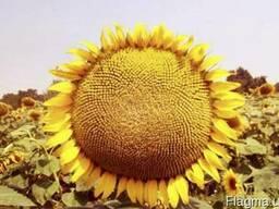 Семена подсолнечника Златибор устойчив к заразихе